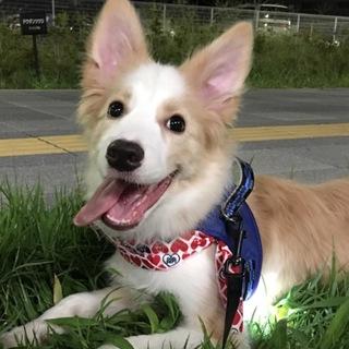 ★ご応募多数一時停止★ボーダーコリー4ヶ月子犬