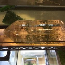 ヒメダカの稚魚をペットボトルで飼育。