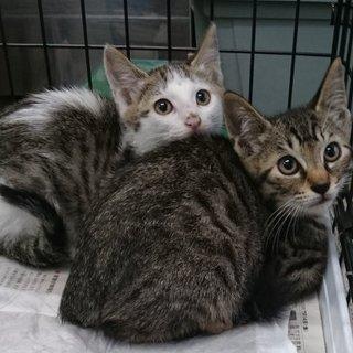 キジトラ&キジ白のオスメス兄妹子猫
