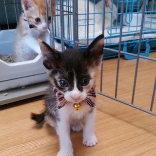 三毛猫ちゃん 女の子