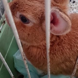 ウサギの里親さん募集です