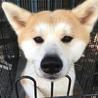 人懐っこい秋田犬の赤毛 男の子 サムネイル2