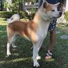 人懐っこい秋田犬の赤毛 男の子 サムネイル3