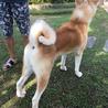 人懐っこい秋田犬の赤毛 男の子 サムネイル4