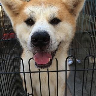 秋田犬の赤毛 3歳6ヵ月オス