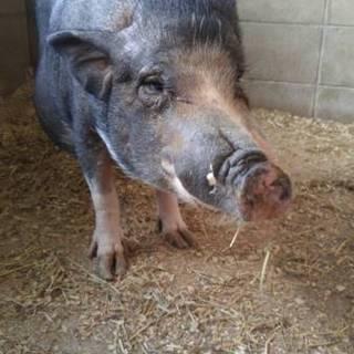 かわいいミニ豚の女の子
