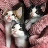 おめめが可愛い白黒の子猫、キョロくん♪ サムネイル4