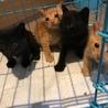 チャトラン 黒猫 生後1ヶ月オス