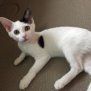 生後半年 少しハンデありますが美猫さんです