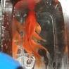 金魚各種 サムネイル3
