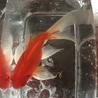 金魚各種 サムネイル4