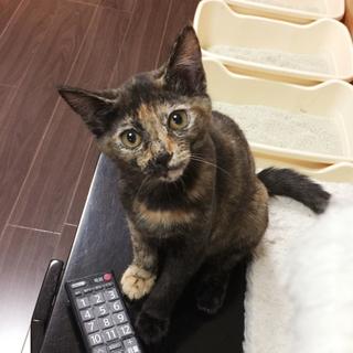 美猫サビ♀  生後4ヶ月