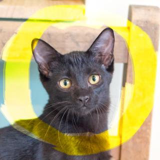 4ヶ月♡猫初心者向け甘えん坊やくも黒猫オス