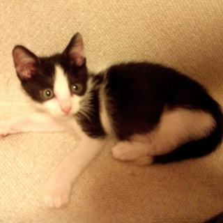 尾先の白の縁起がいい白黒子猫