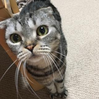 スコティッシュフォールドのオス猫ちゃん