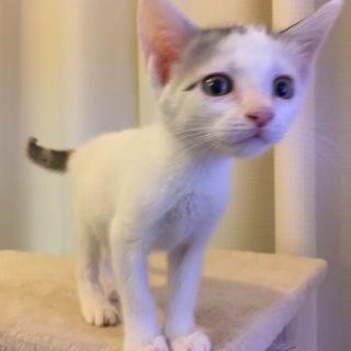 白キジ子猫ちゃん