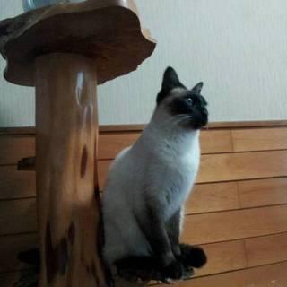 白毛と青い瞳がキレイなシャム猫女の子です。