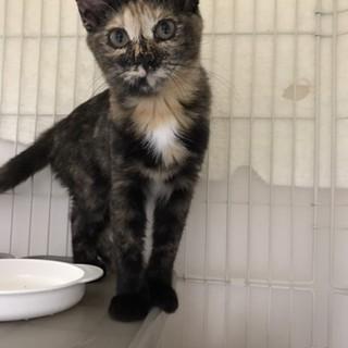 生後4ヶ月位の美人サビ猫