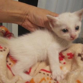 可愛い白猫まはちゃん 離乳中