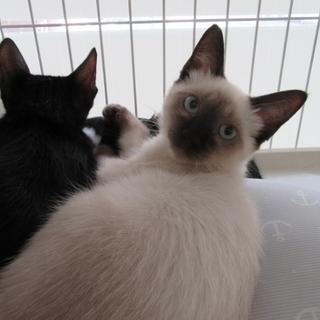 子猫「ルークス」2か月女の子