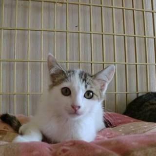 白キジ3カ月半女の子。気ままに遊ぶ活発な子猫