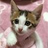 やんちゃで甘えん坊な子猫、キジシロくん♪