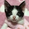 おめめが可愛い白黒の子猫、キョロくん♪