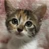おめめパッチリ!キュートなミケ猫、ビオラちゃん♪