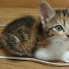 おめめパッチリ!キュートなミケ猫、ビオラちゃん♪ サムネイル3