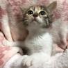 おめめパッチリ!キュートなミケ猫、ビオラちゃん♪ サムネイル4