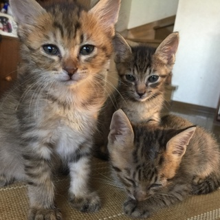 キジ猫の4きょうだいです