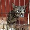4ヶ月キジ猫オス サムネイル3