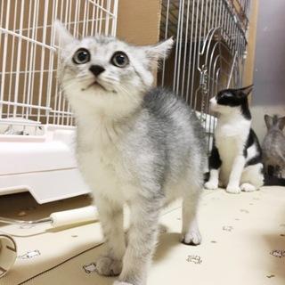 シルバータビーの綺麗な仔猫