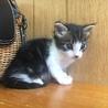 白黒トラ柄男の子生後約1ヵ月子猫ちゃん