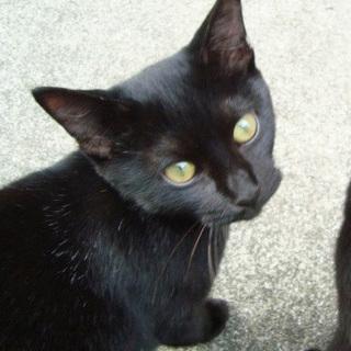 黒猫の男の子 甘えん坊でしぐさが可愛く人馴れ◎