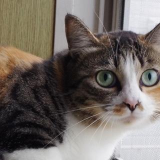 ちょっぴりシャイな三毛猫ララ