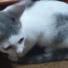 生後4か月のサバシマ子猫です