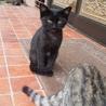里親募集、可愛い黒猫です。