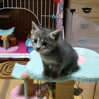 サバトラ、生後1ヶ月の可愛い女の子です♪