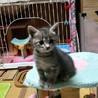 サバトラ、生後1ヶ月の可愛い女の子です♪ サムネイル2
