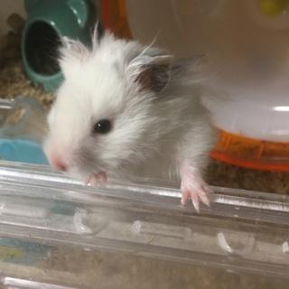 黒目ホワイトサテン 長毛 オス 3ヵ月
