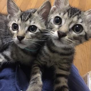 キジ猫の男の子2匹とキジ白の女の子の兄妹