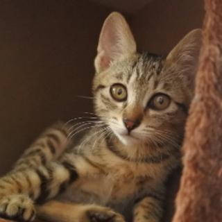 キジ猫の子猫 (仮名:リンクちゃん)