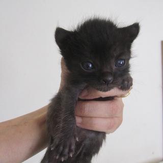 アメリカンカール風赤ちゃん黒猫かたーる君離乳中