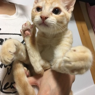 保護した仔猫/甘えん坊の綺麗な茶トラ