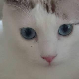 ブルーな目が綺麗な落ち着いた成猫!