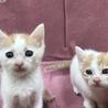 愛護センター引き出し子猫です。 サムネイル6