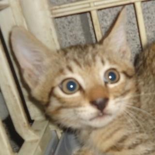 子猫1.5ヶ月ぐらいキジです。