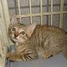 子猫1.5ヶ月ぐらいキジです。 サムネイル2