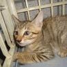 子猫1.5ヶ月ぐらいキジです。 サムネイル4